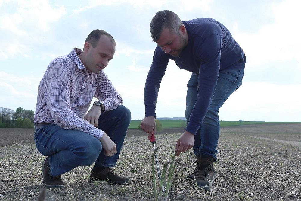 Nem épp a legkönnyebb mutatvány a spárga termesztése